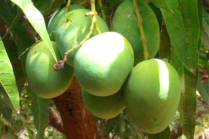 Footsteps eco-lodge Gambia | Mango trees