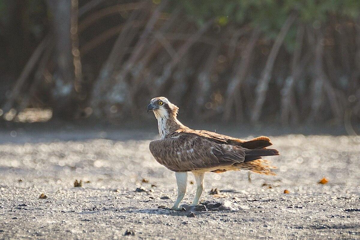 Birds - Osprey