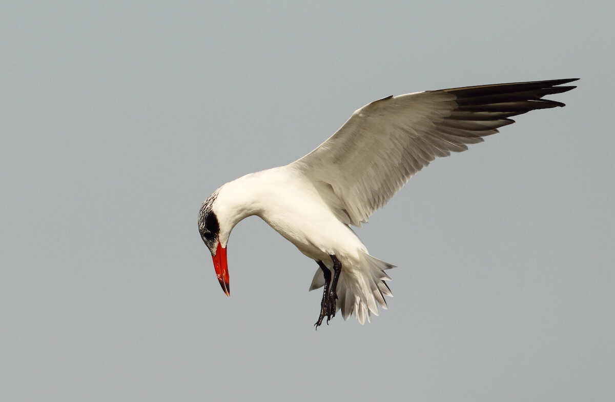 Caspian Tern preparing to dive