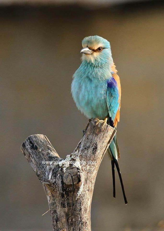 Abyssinian roller | Birdwatching with Steve Catt