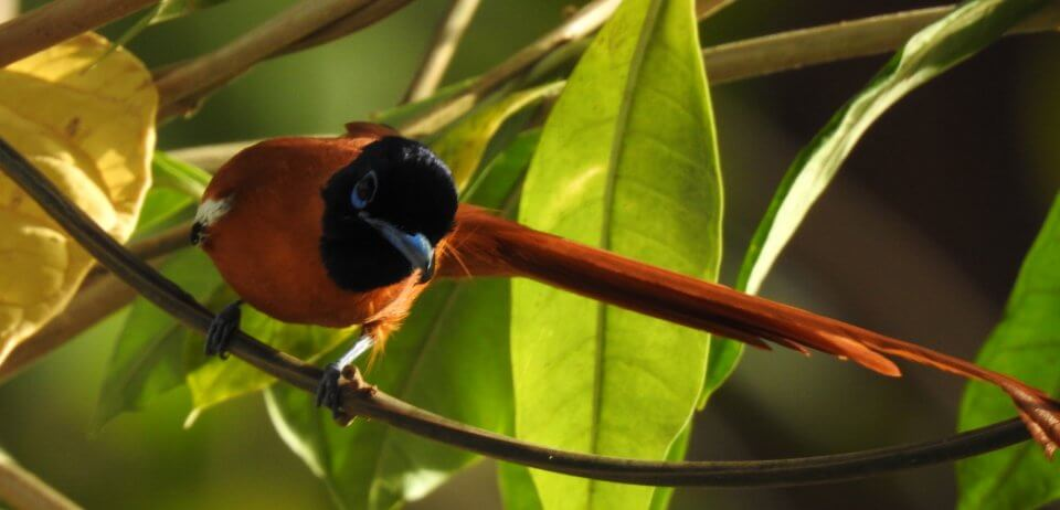 African Paradise Flycatcher | Gambia Birdwatching