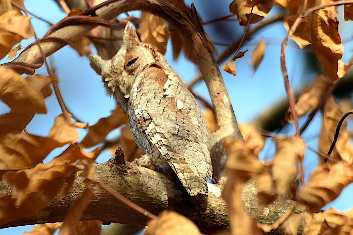 African Scops Owl Gambia