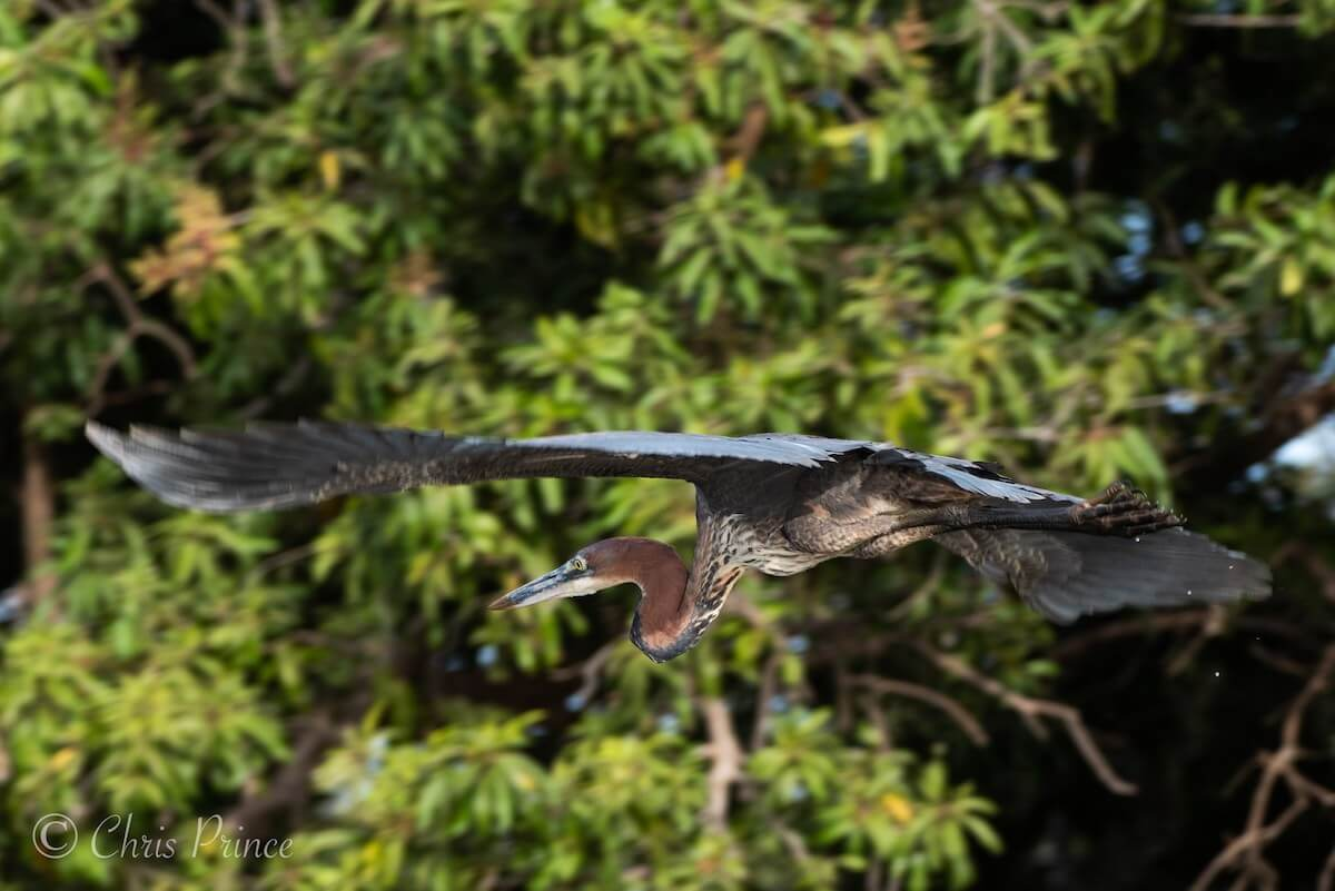 My Gambia birding holidays | Goliath Heron by Chris Prince Photography