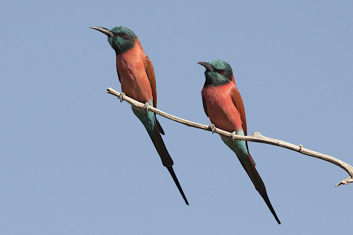 Aves de Gambia - Carmín-Abejarucos