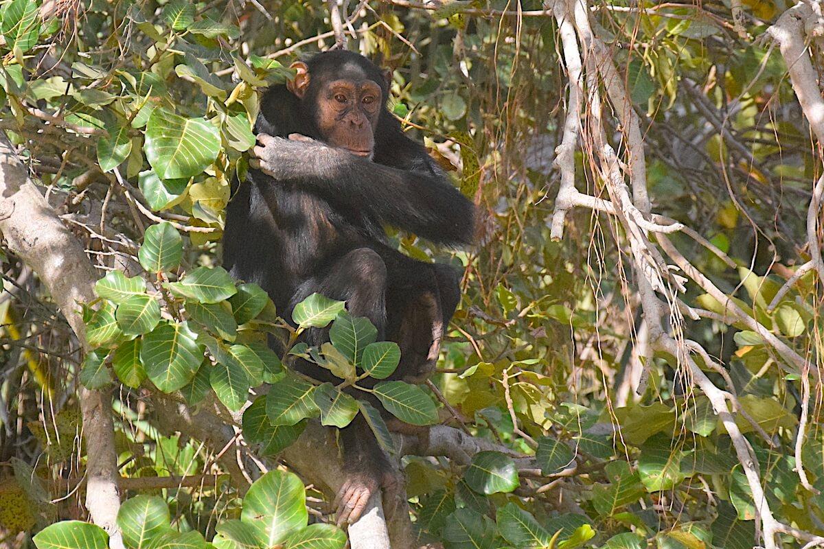 Chimpanzees islands