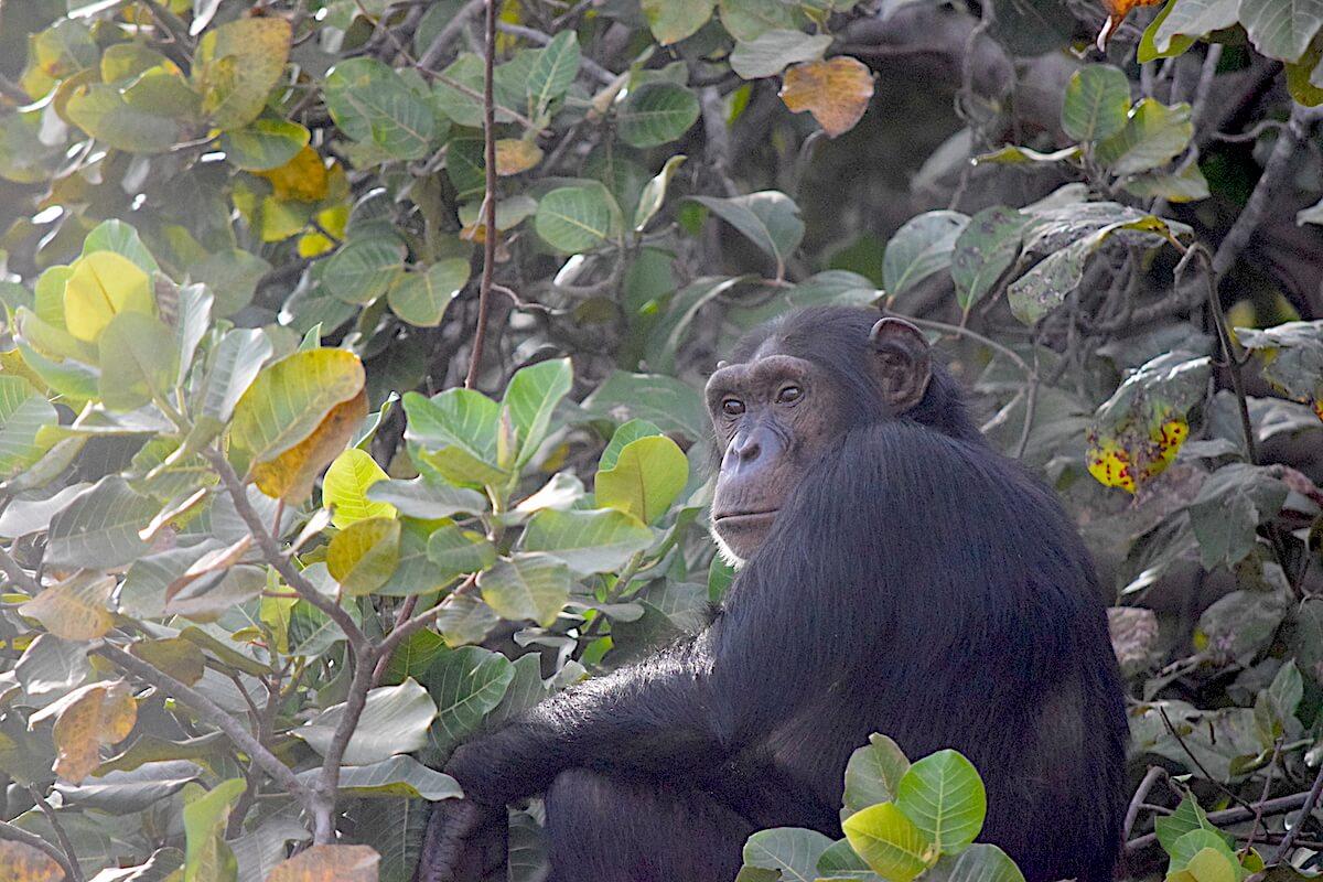 Chimpanzees waiting for feeding