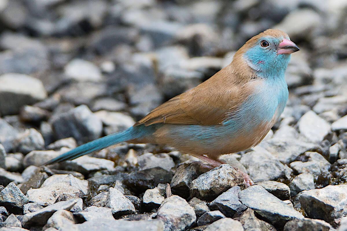 Cordon-bleu female