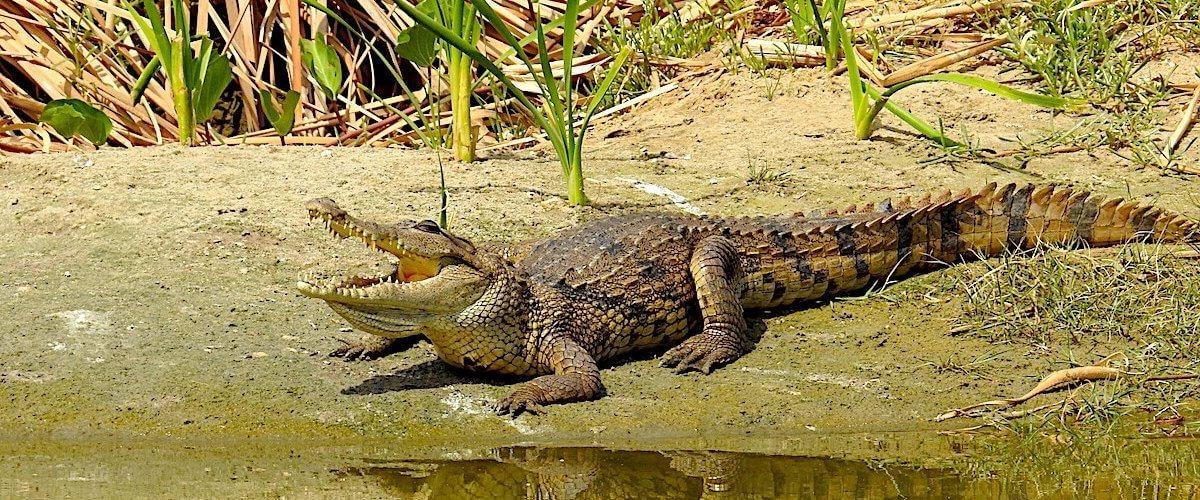 Croc at Calypso