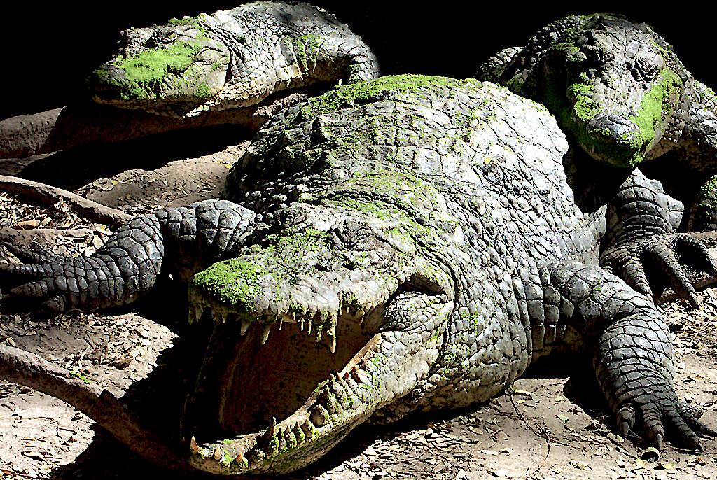 Crocodiles or Alligators