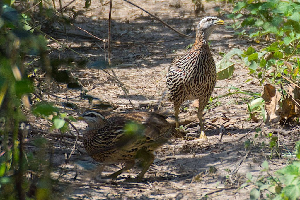 Double Spurred Francolin