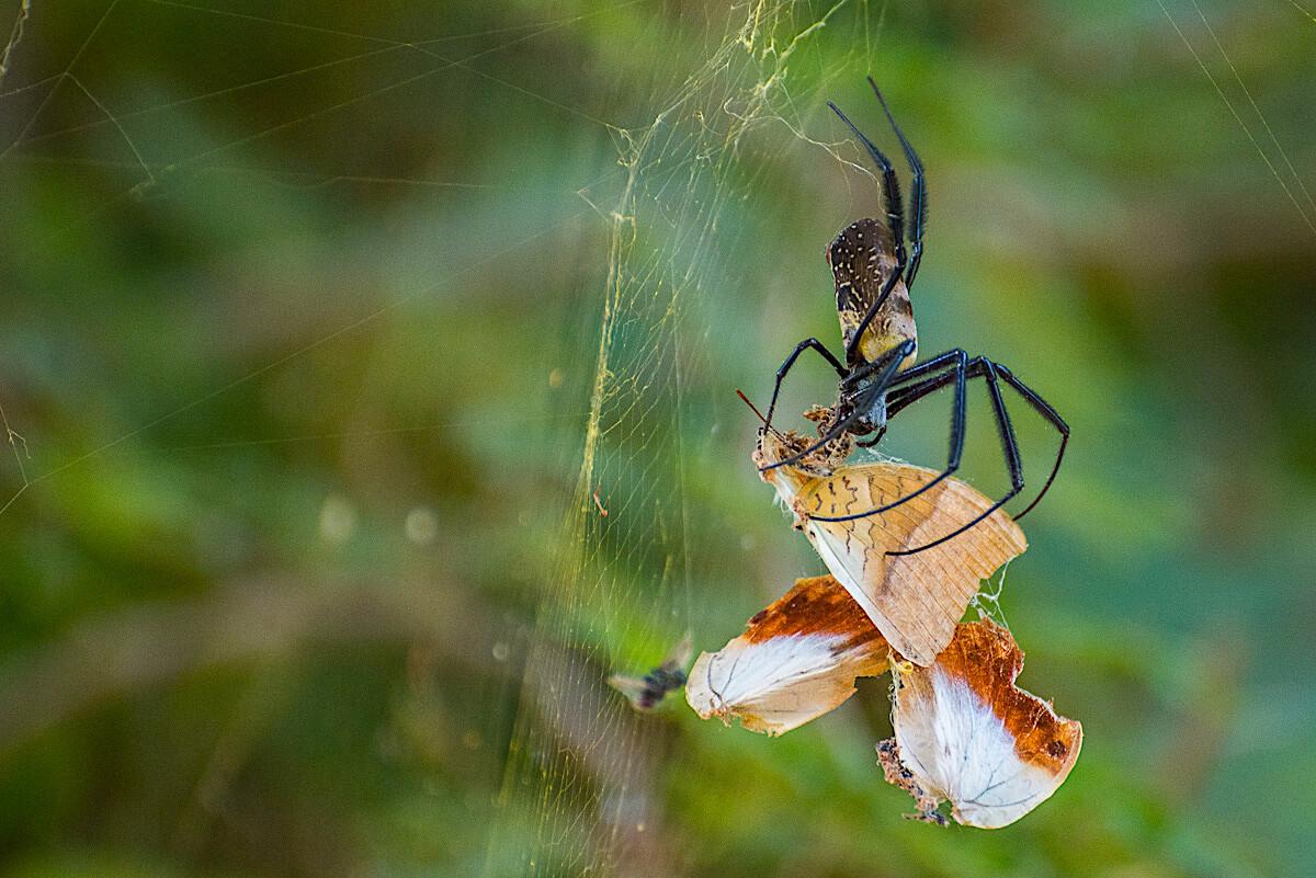Araña de Gambia