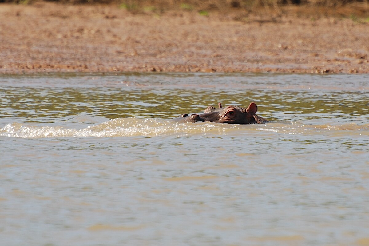 Hippo coming for us!