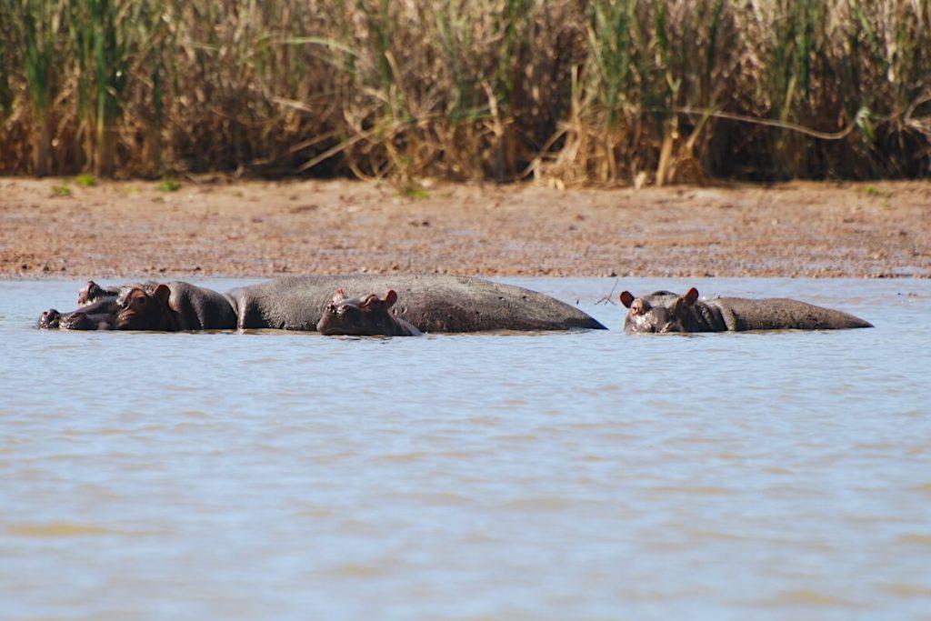 Nilpferd im Gambia-Fluss