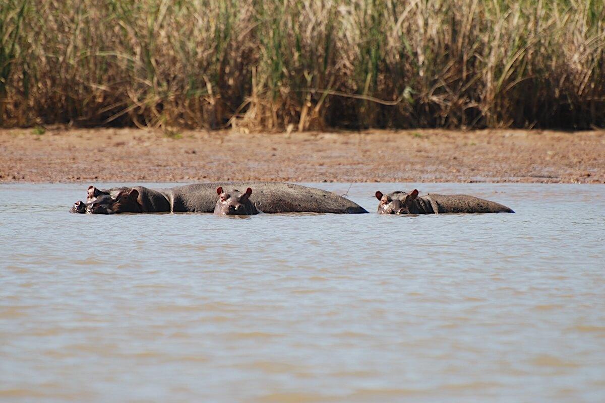 Hippos family