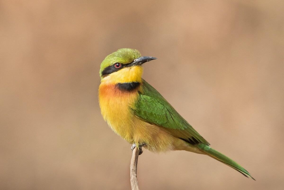 Birds - Little bee eater