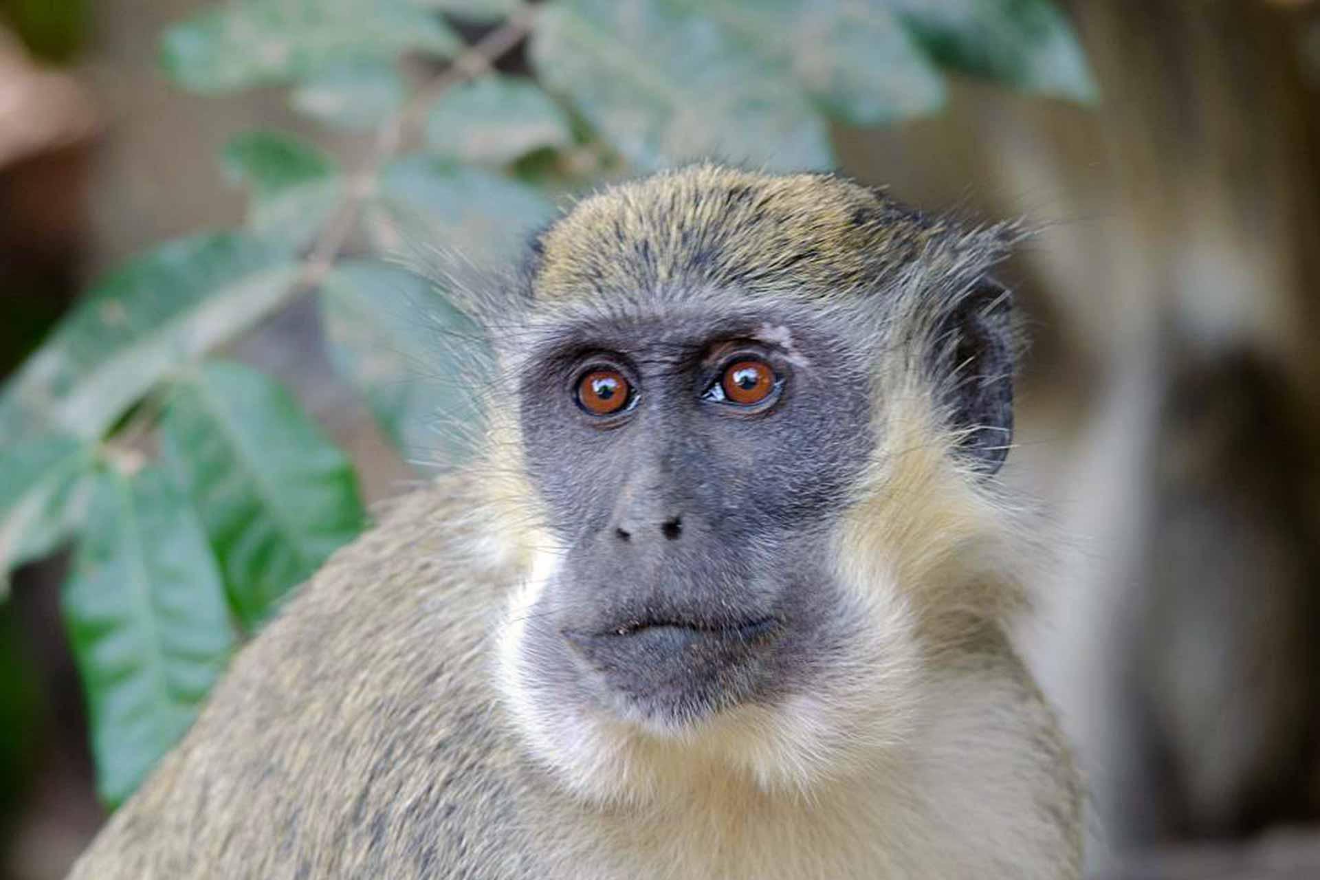 Visit Abuko Nature Reserve & see monkeys