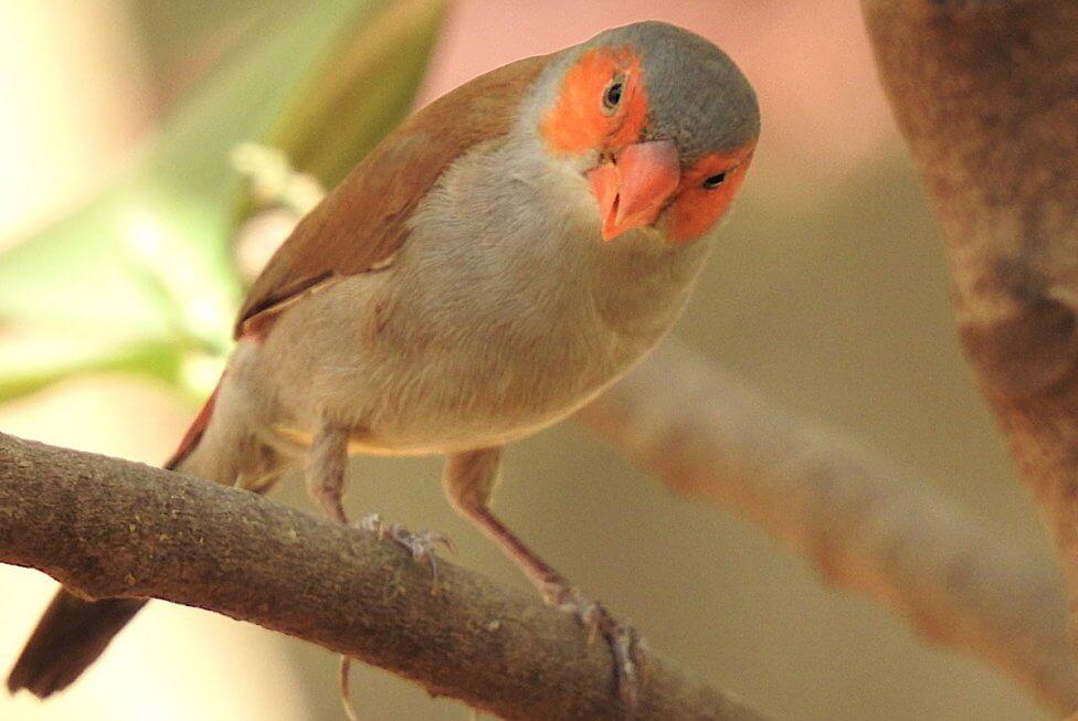 Orange-cheeked Waxbill