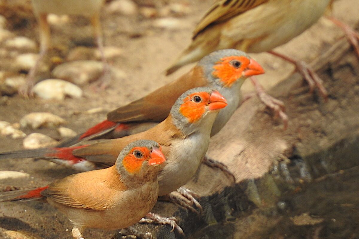 Orange-cheeked Waxbills