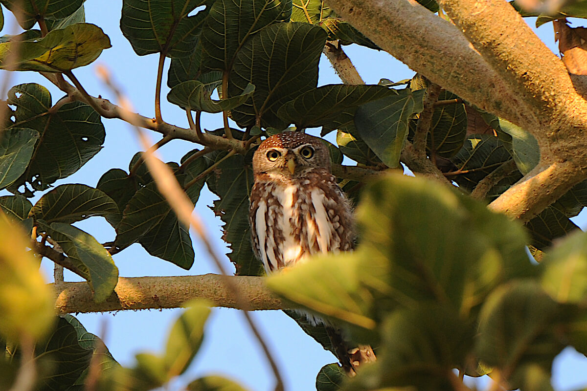Pearl spotted Owlet.