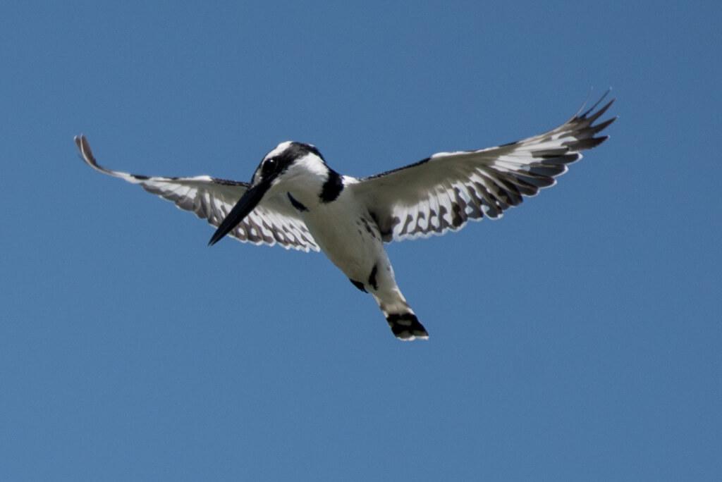 Gescheckter Eisvogel | Gambia Urlaubsfoto