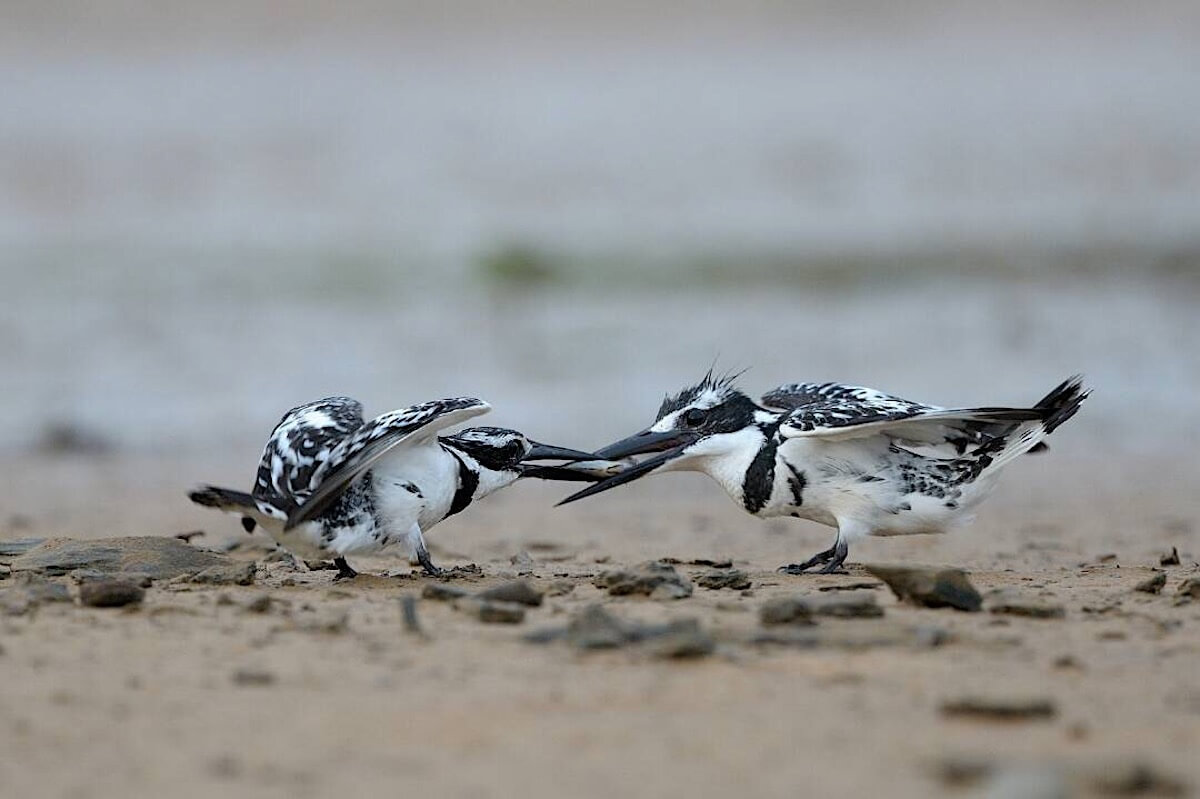 A pair of Pied kingfisher