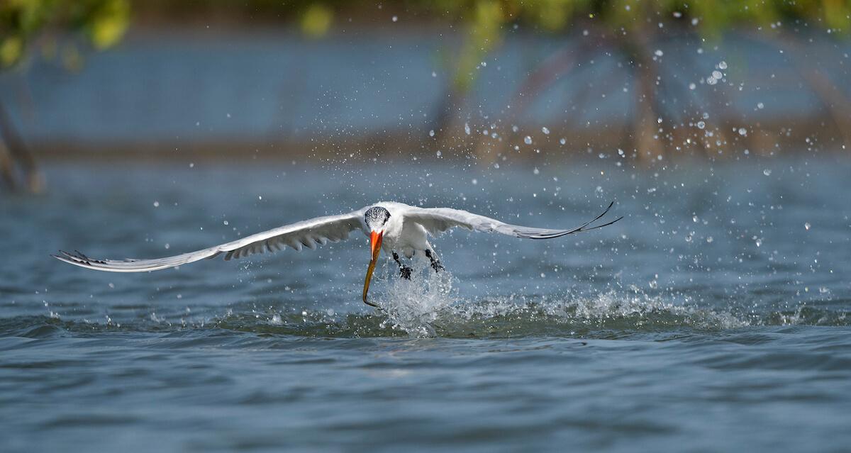 Caspian Tern feeding