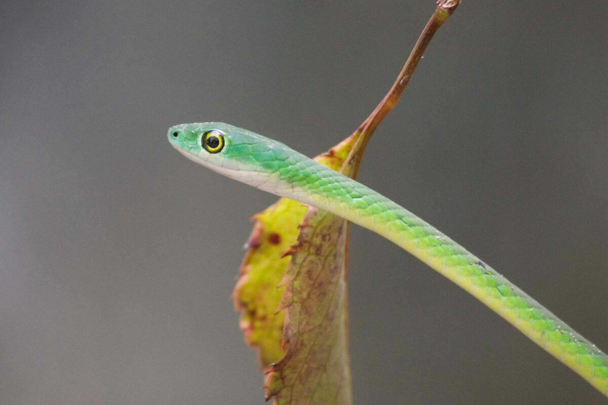 Actividades de Gambia | Serpientes y reptiles | serpiente