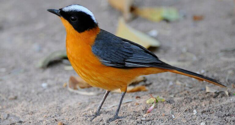 Snowy-Crowned-Robin-Chat