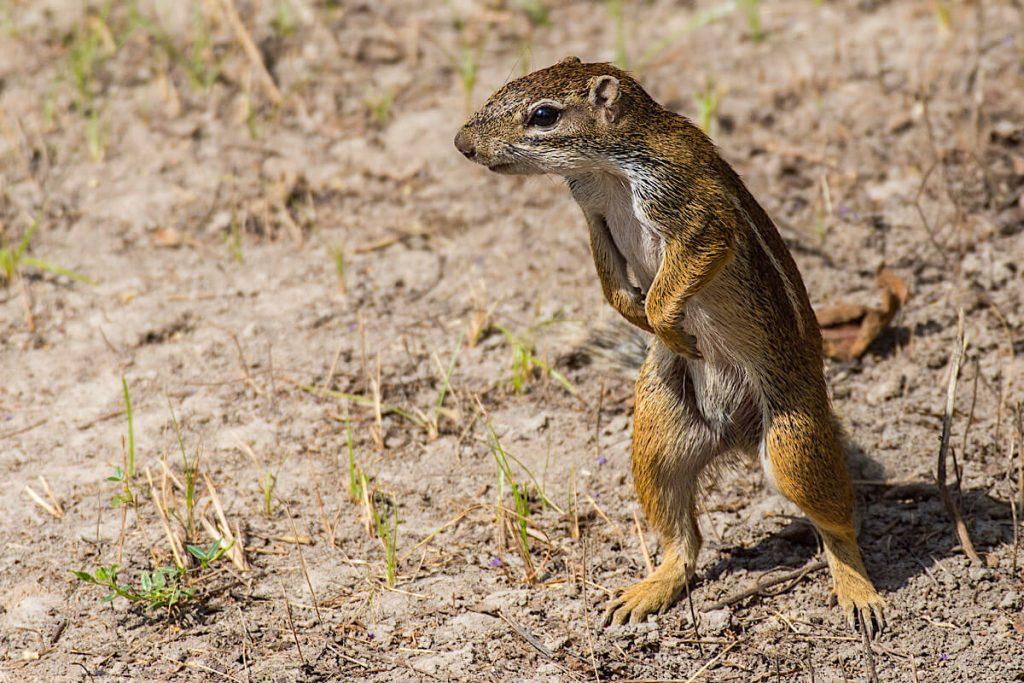 Gestreiftes Grundeichhörnchen
