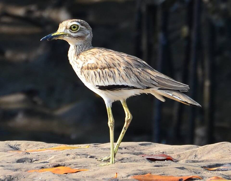 Senegal Thick-Knee | Birding holidays in The Gambia
