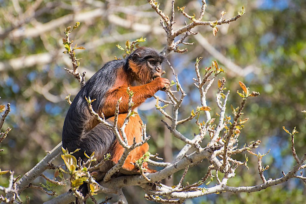 Western Red Colobus