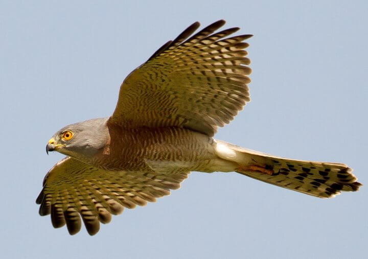 Shikra in flight